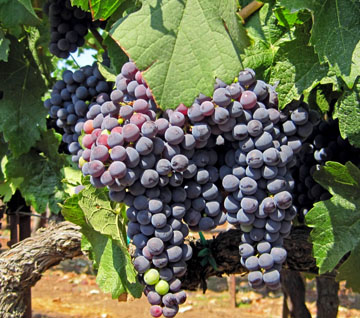 2015-05-07-grapes-on-the-vine-wp