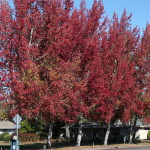 Fall Trees in Oakmont