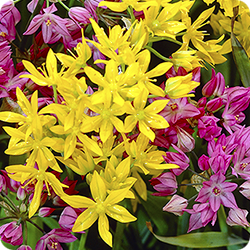 Allium-Just one of many choices