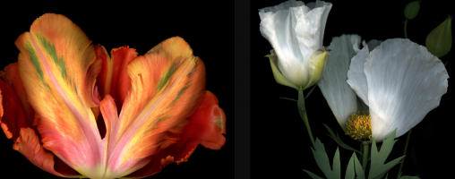 A photo of some beautiful flowers, by Peter Krohn.